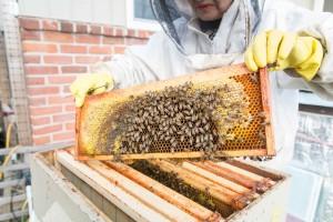 Urban beekeeping (photo: Hugo Wong)